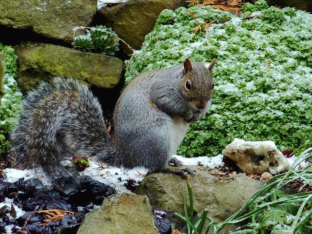 Urban squirrel in Penn, Wolverhanpton