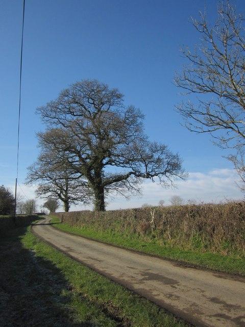 Oaks by the lane near Rexton