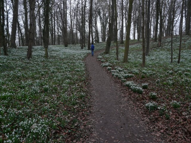 Snowdrops in the grounds of Walsingham Abbey, Norfolk