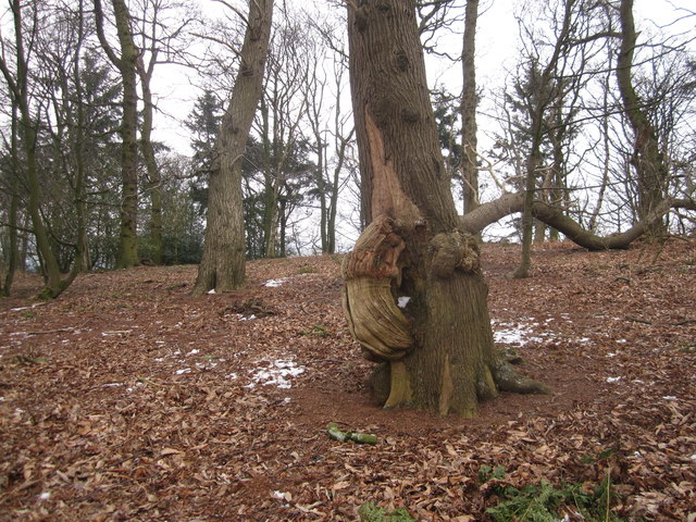 Strange arboreal growth in Danielhill Wood