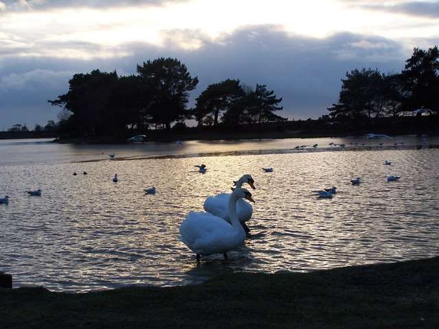Swans at sunset, Hatchet Pond