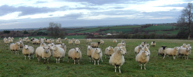 Sheep in the Blackmore Vale