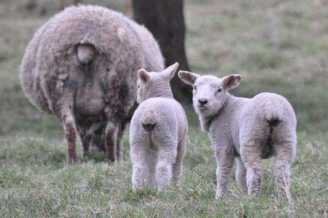 Holcombe Rogus : Lambs & Sheep