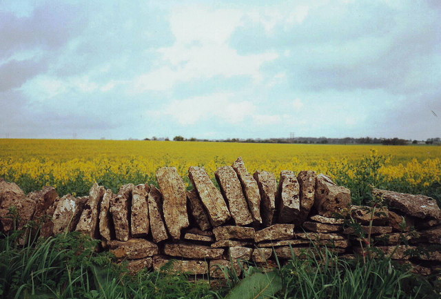 Drystone wall and rape seed near Northleach