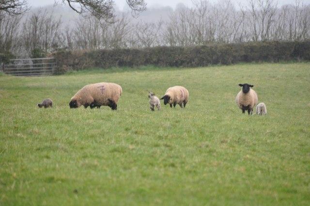 Mid Devon : Sheep Grazing