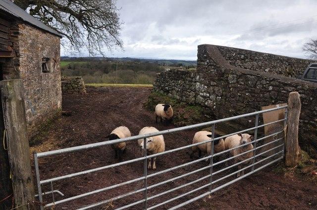 Mid Devon : Sheep at Steels Cottage