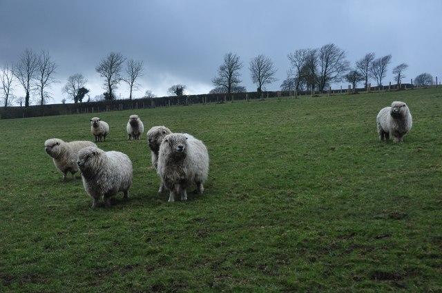 Taunton Deane : Grey Face Dartmoors
