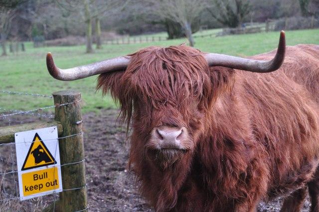 Taunton Deane : Highland Cattle
