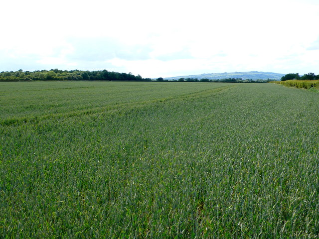 Wheatfield at Little Buckland Cottages