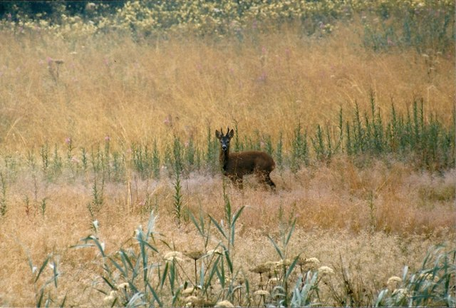 Roe buck at Golden Acre