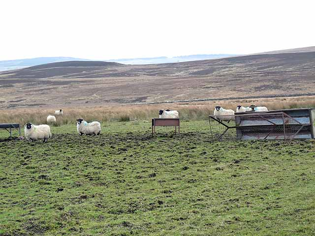 Sheep and feeders on Troughend Common