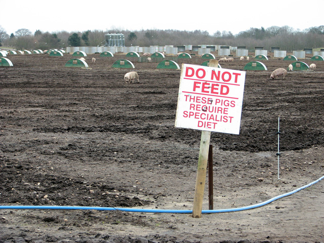 Do not feed the pigs, Waldringfield