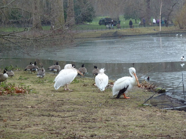 Chilly birds at St James's Park