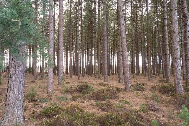 Plantation in Markway Inclosure