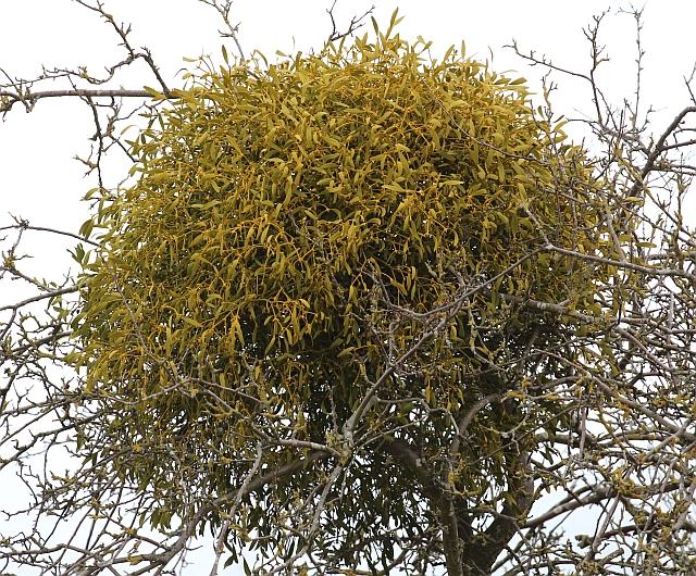 Mistletoe ball, St Wulstans Nature Reserve