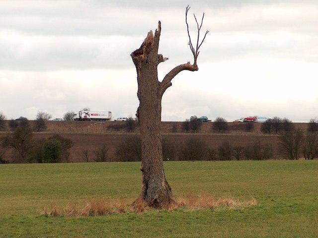 Dead tree near Cuckoo Way with the M1 motorway behind