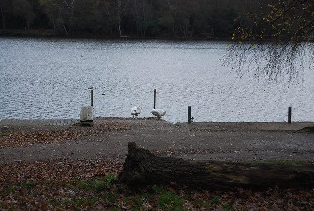 Swans, Tilgate Lake