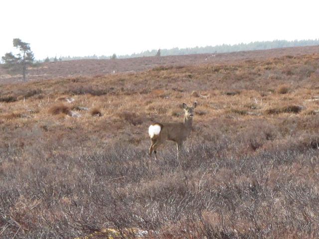 A curious roe deer