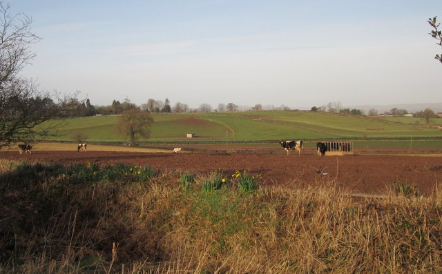 Cattle near Priory Wall Cross