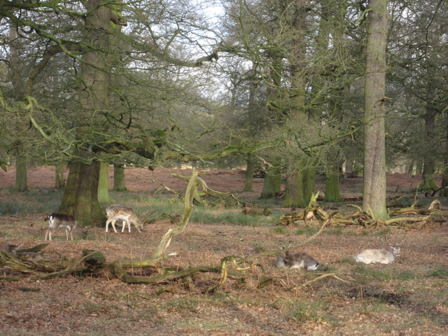 Not distant deer Dunham Massey