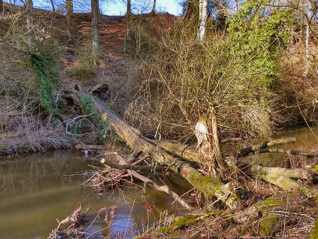 Fallen Tree, River Bollin