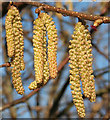 NT1271 : Hazel Catkins by Anne Burgess