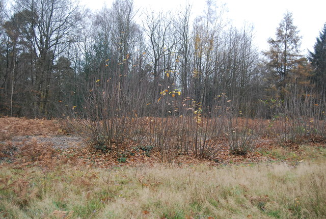 Coppicing Tilgate Forest 169 N Chadwick Cc By Sa 2 0