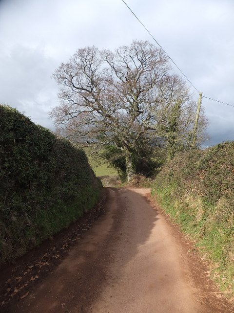Oak at road junction near Higher Thornton