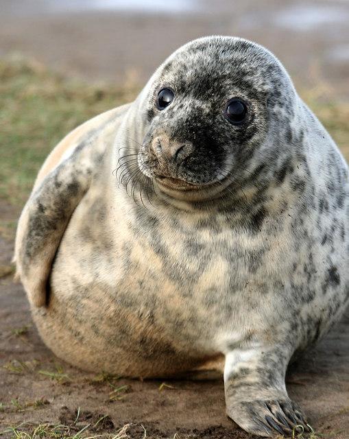 Grey Seal, Donna Nook