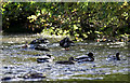SK0956 : Mallards at Wetton Mill by Patrick Baldwin