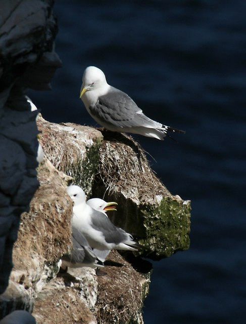 Gulls at Bempton