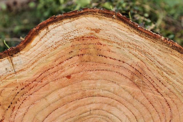 Tree rings, Minnowburn, Belfast