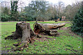 TL3501 : Fallen Tree, Cedars Park, Cheshunt, Hertfordshire by Christine Matthews
