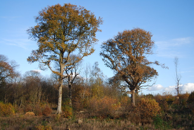 Two trees, Quarry Wood