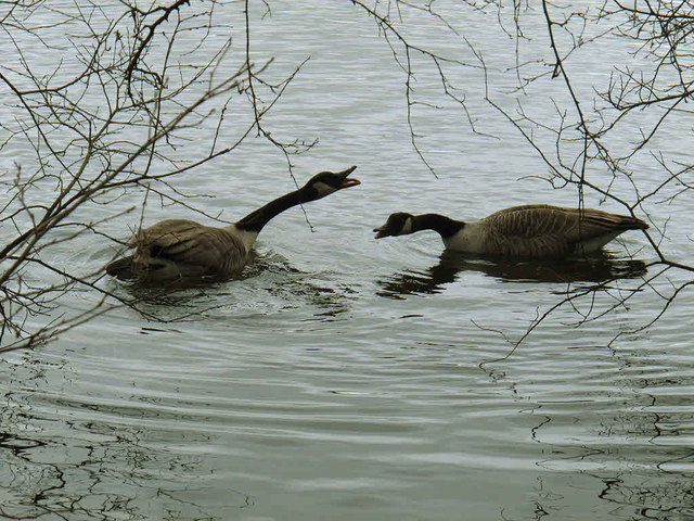 Goose fight at Shakerley Mere (1)