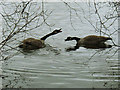 SJ7371 : Goose fight at Shakerley Mere (1) by Stephen Craven
