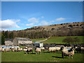 SD4890 : Swaledale ewes at Barrowfield by Karl and Ali