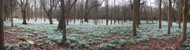 Snowdrops and Beech Trees