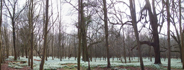 Snowdrops under the Beech Trees