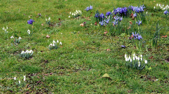Snowdrops and Iris reticulata