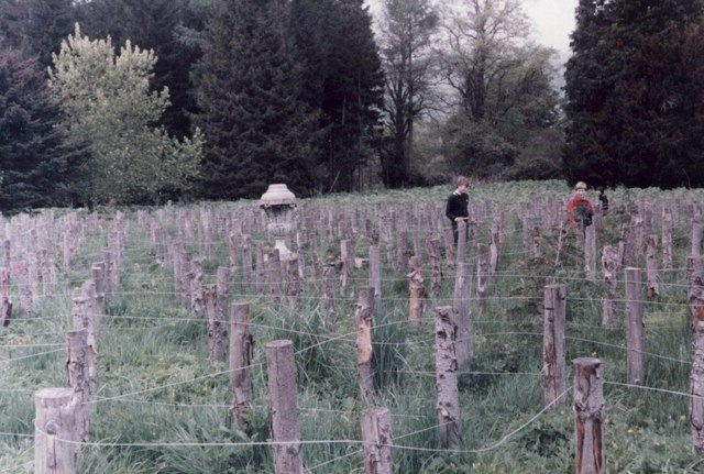 The maze at Traquair in 1983