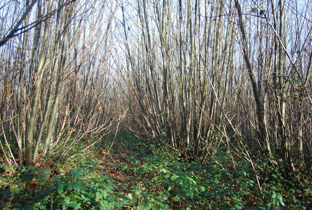 Footpath through the coppicing