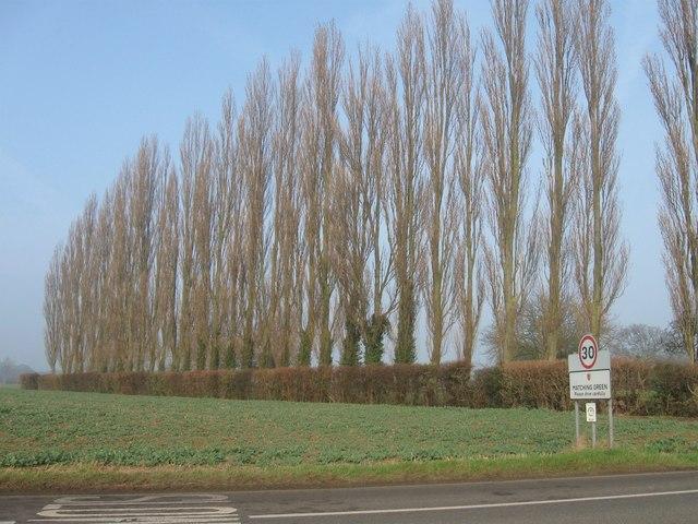 Poplar trees at Matching Green, Essex.