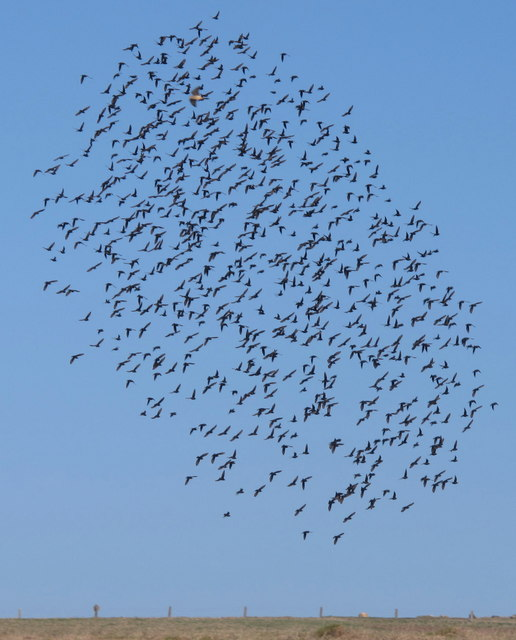 Falcon panics starlings, Trevose Head