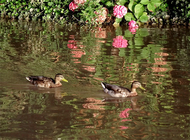Ducks with hydrangeas in Middlewich, Cheshire