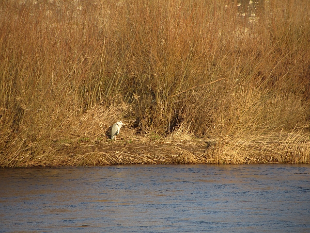 Heron, River Tweed