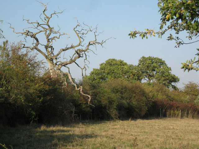 Dead oak in a thicket