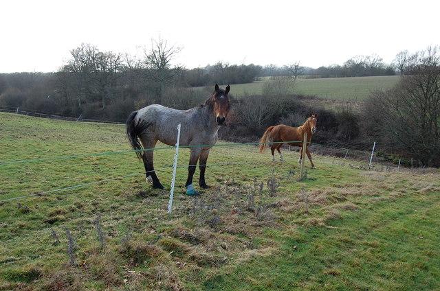 Horses in Field near Sandhurst