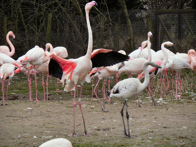 Greater Flamingos at Slimbridge