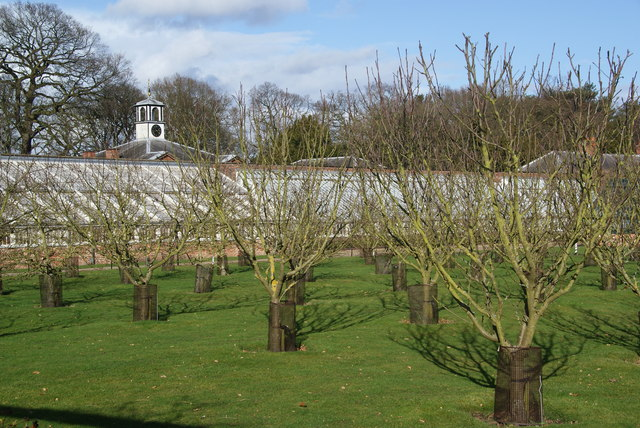 Apple orchard at Tatton Hall
